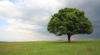 gainesville-ENT-oak-tree